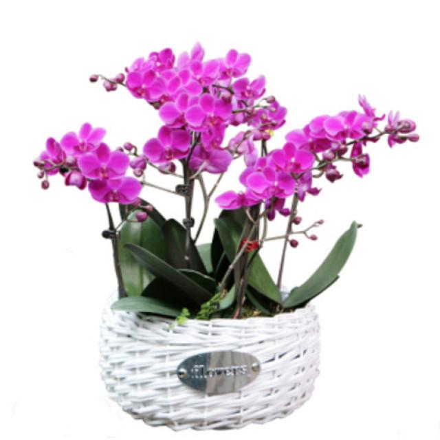 6枝紫色mini蝴蝶兰(藤编花盆)