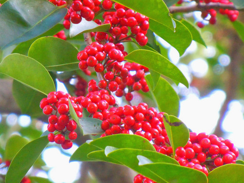 圣诞花材-冬青